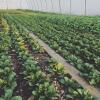 Feldsalat im Februar